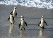 非洲企鹅从沙滩的海洋走出去 图库摄影