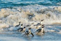 非洲企鹅从沙滩的海洋走出去 免版税图库摄影