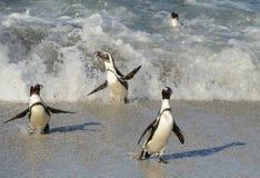 非洲企鹅从沙滩的海洋走出去 免版税库存图片
