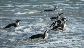 非洲企鹅从海洋走出去 免版税图库摄影