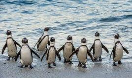 非洲企鹅从海洋走出去 免版税库存图片