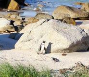 非洲企鹅(蠢企鹅demersus)企鹅,西开普省,南非 免版税库存照片