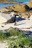 非洲企鹅(蠢企鹅demersus)企鹅,西开普省,南非 免版税图库摄影