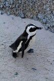 非洲企鹅(蠢企鹅demersus)企鹅,西开普省,南非 免版税库存图片