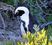 非洲企鹅(蠢企鹅demersus)在叶子,西开普省,南非 免版税图库摄影