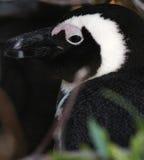 非洲企鹅(蠢企鹅demersus)特写镜头外形,西开普省,南非 免版税库存照片
