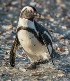 非洲企鹅 非洲企鹅(蠢企鹅demersus),亦称公驴企鹅和黑有脚的企鹅 库存照片