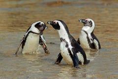非洲企鹅 图库摄影