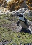 非洲公驴企鹅 图库摄影