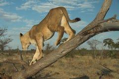 非洲利奥狮子panthera 免版税库存图片