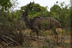非洲更加伟大的Kudu公牛 免版税库存图片