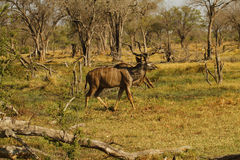 非洲更加伟大的Kudu公牛 图库摄影