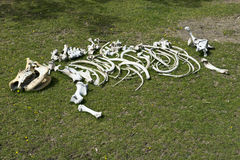 非洲动物去骨犀牛犀牛概要 免版税库存图片