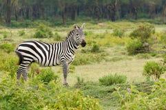 非洲动物 免版税库存图片