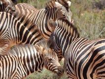 非洲南斑马 免版税图库摄影