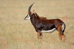 非洲南羚羊的黑貂 免版税库存图片