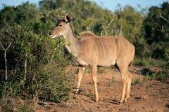 非洲南羚羊的kudu 免版税库存照片