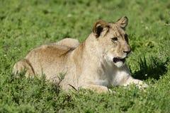 非洲南崽的狮子 图库摄影