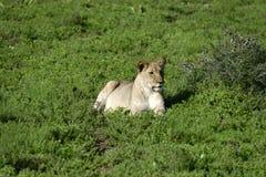 非洲南崽的狮子 库存照片