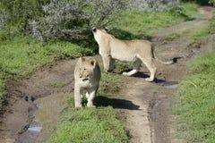 非洲南崽的狮子 免版税库存照片