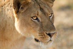 非洲国王狮子 免版税库存图片
