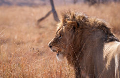 非洲国王 免版税库存照片