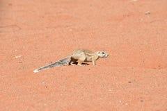 非洲地松鼠-纳米比亚 免版税库存照片