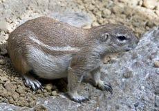非洲地松鼠1 免版税库存图片