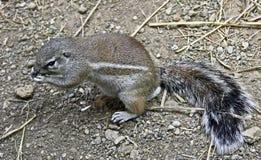 非洲地松鼠3 库存图片