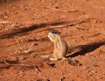 非洲地松鼠 免版税图库摄影