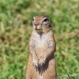 非洲地松鼠 库存照片