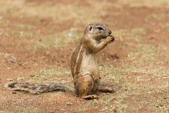 非洲地松鼠& x28; Marmotini& x29;吃坚果的画象 库存图片