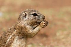 非洲地松鼠& x28; Marmotini& x29;吃nu的特写镜头画象 免版税图库摄影