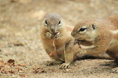 非洲地面南灰鼠 库存图片