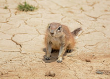非洲地面南部的灰鼠 免版税库存图片