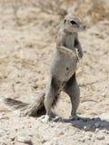 非洲地面南部的灰鼠 免版税库存照片