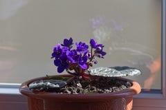 非洲堇Parmas紫罗兰花瓶 库存照片