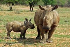 非洲大五头犀牛白色 免版税库存照片