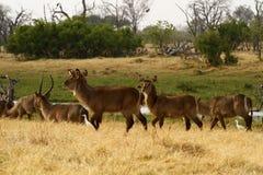 非洲水大型装配架牧群  库存照片