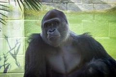 非洲大猩猩 免版税库存图片
