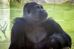非洲大猩猩 库存照片