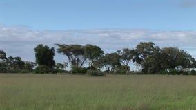 非洲大草原夏天pictrures狂放的徒步旅行队坦桑尼亚卢旺达博茨瓦纳肯尼亚 影视素材