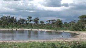 非洲大草原夏天pictrures狂放的徒步旅行队坦桑尼亚卢旺达博茨瓦纳肯尼亚 股票视频