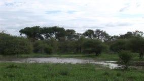 非洲大草原夏天pictrures狂放的徒步旅行队坦桑尼亚卢旺达博茨瓦纳肯尼亚 股票录像