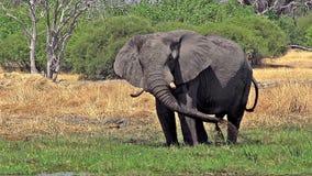 非洲大象、非洲象属africana、成人喷洒的水和泥在Khwai河, Moremi储备, Okavango三角洲在博茨瓦纳, 影视素材