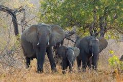 非洲大象三 免版税图库摄影