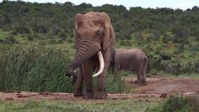 非洲大象公牛在Musth 股票视频