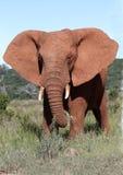 非洲大象公牛 免版税库存图片