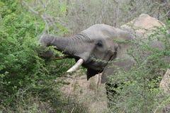 非洲大象吃 免版税库存照片
