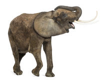 非洲大象吹小号,看起来愉快 免版税库存图片